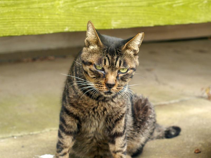 お堂の縁の下のキジトラ猫2