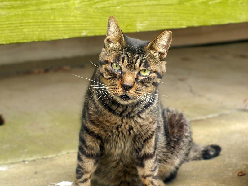 お堂の縁の下のキジトラ猫3