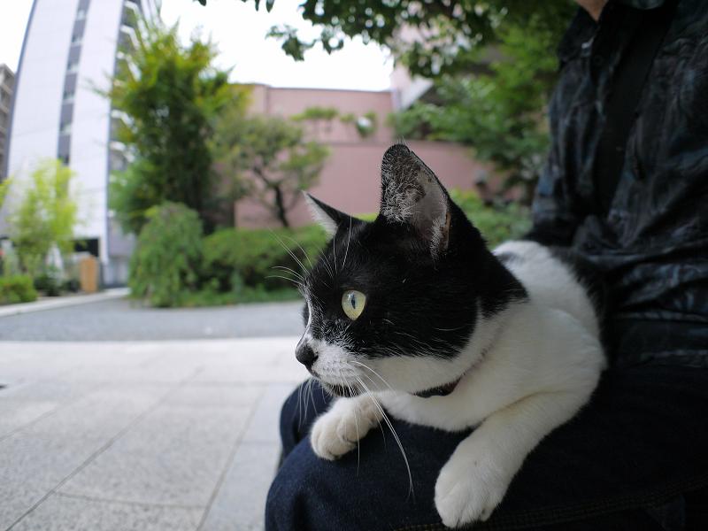膝に乗って真剣に何かを見てる白黒猫1