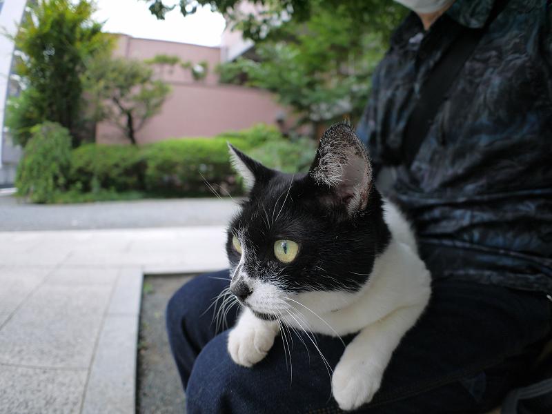 膝に乗って真剣に何かを見てる白黒猫2