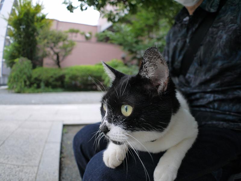 膝に乗って真剣に何かを見てる白黒猫3