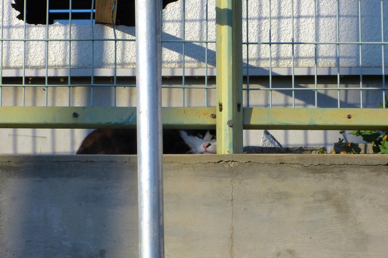 金網フェンスと猫1