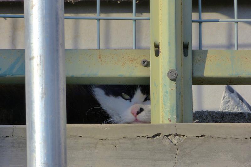 金網フェンスと猫2