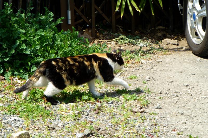 日向空き地を歩む三毛猫2