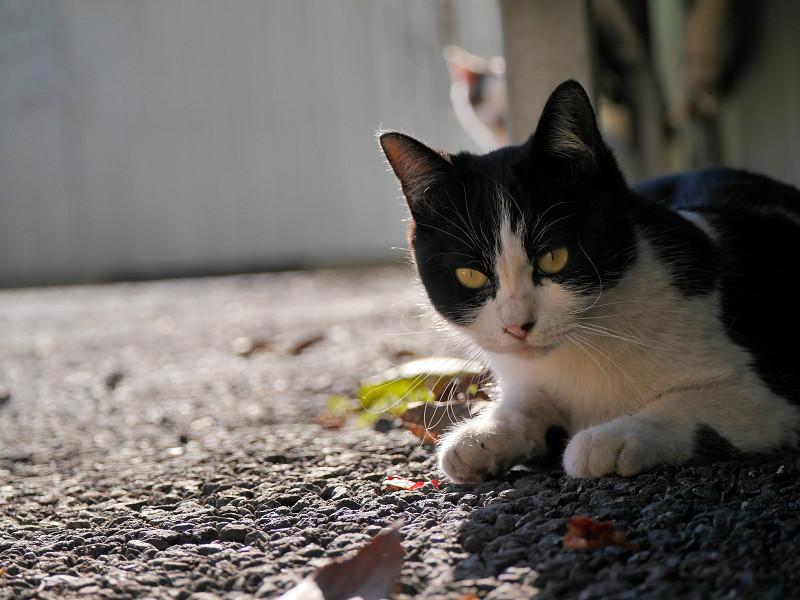 壁の下で後退りする黒白猫2
