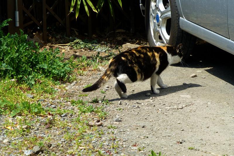 日向空き地を歩む三毛猫3