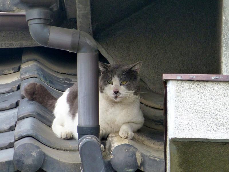 小屋根とグレー白猫3