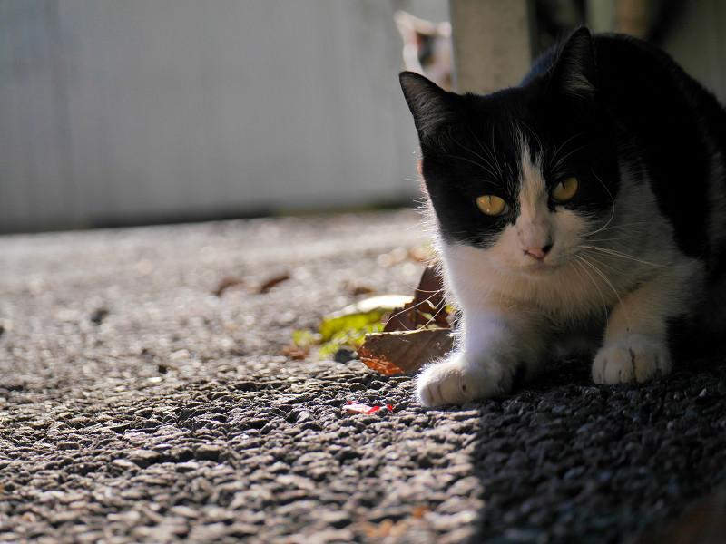 壁の下で後退りする黒白猫3