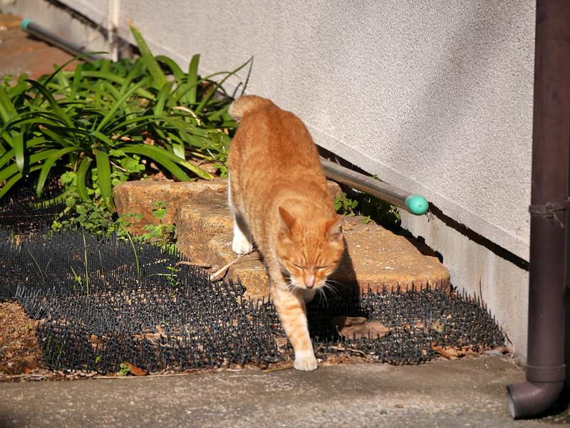 草むらを飛び越した茶白猫1