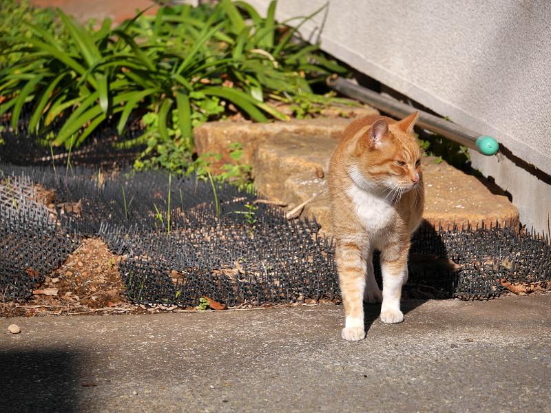 草むらを飛び越した茶白猫2