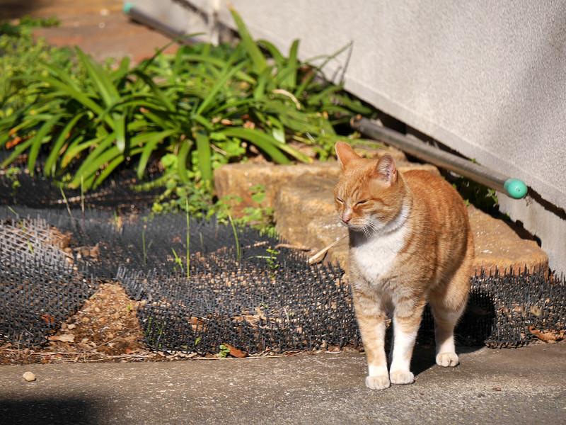 草むらを飛び越した茶白猫3