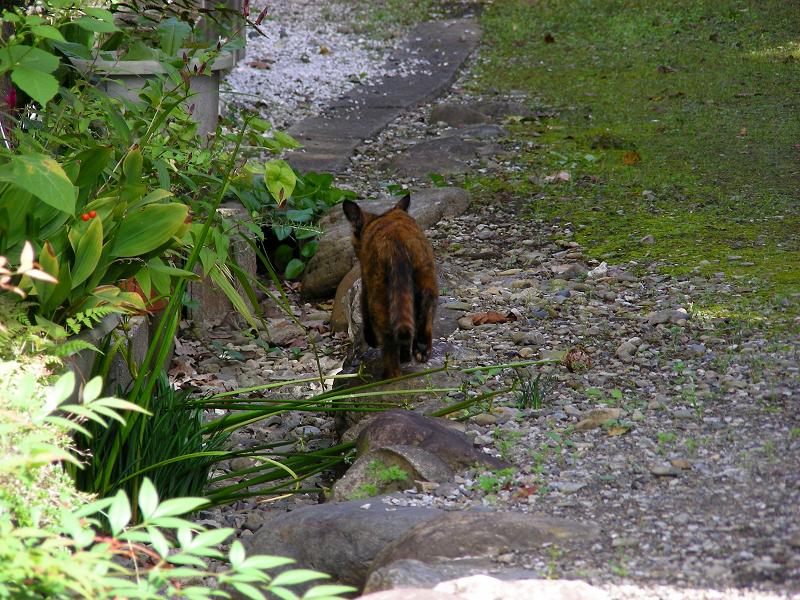民家の庭へ入って行くサビ柄猫1