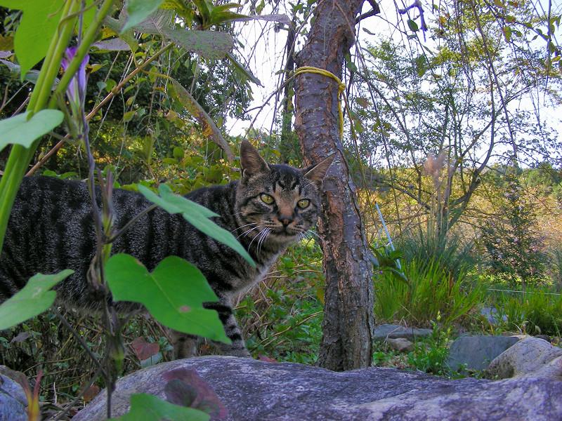 秋色とキジトラ猫1