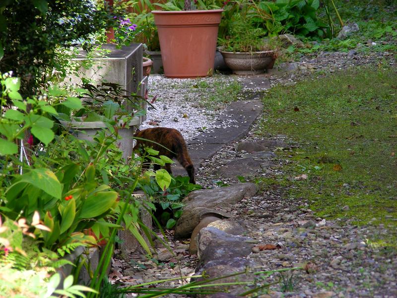民家の庭へ入って行くサビ柄猫2