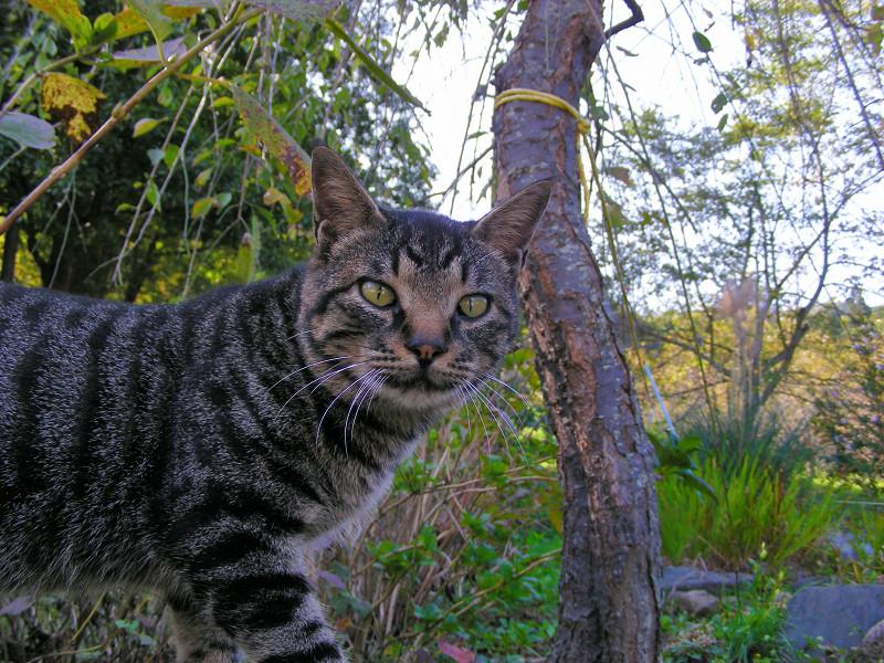 秋色とキジトラ猫2