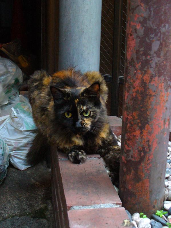 赤煉瓦と錆柄猫2