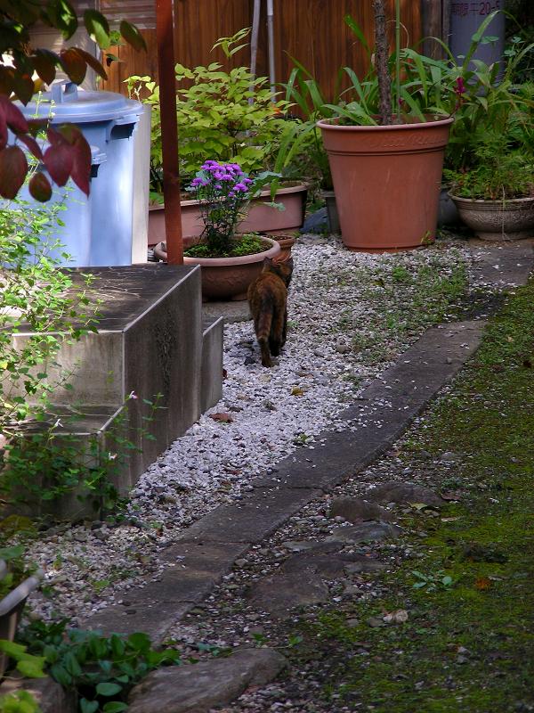 民家の庭へ入って行くサビ柄猫3