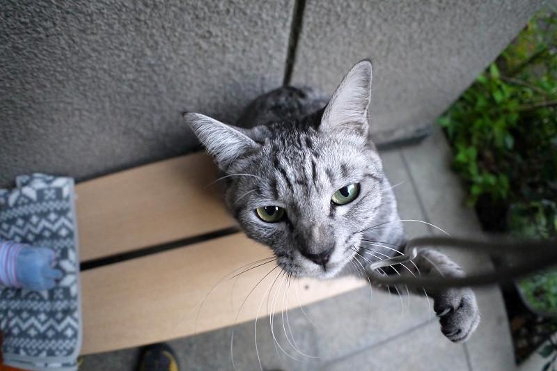 夢中で遊ぶサバトラ猫1