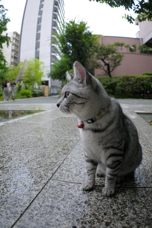 大きくなったサバトラ猫1