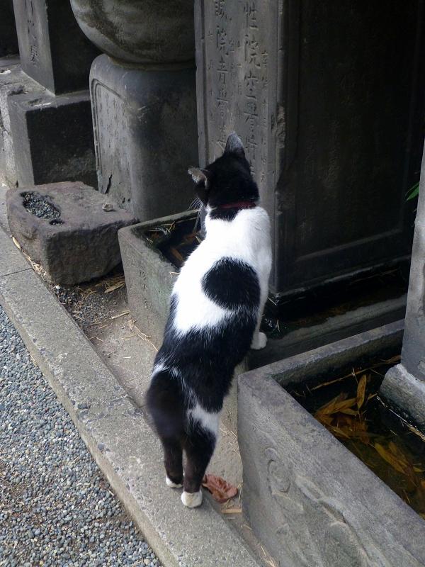 石碑の溜り水を飲む白黒猫2
