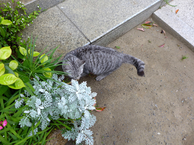 境内をうろつくサバトラ猫2