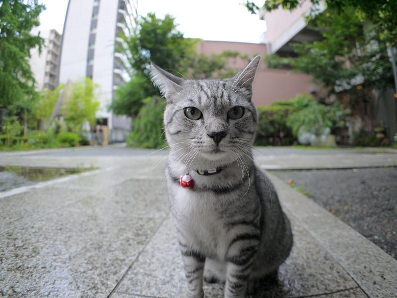 大きくなったサバトラ猫2