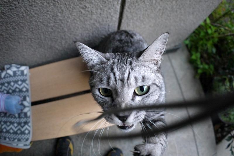 夢中で遊ぶサバトラ猫2