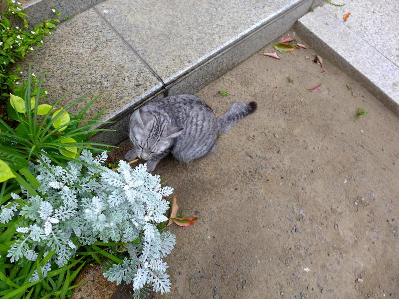境内をうろつくサバトラ猫3