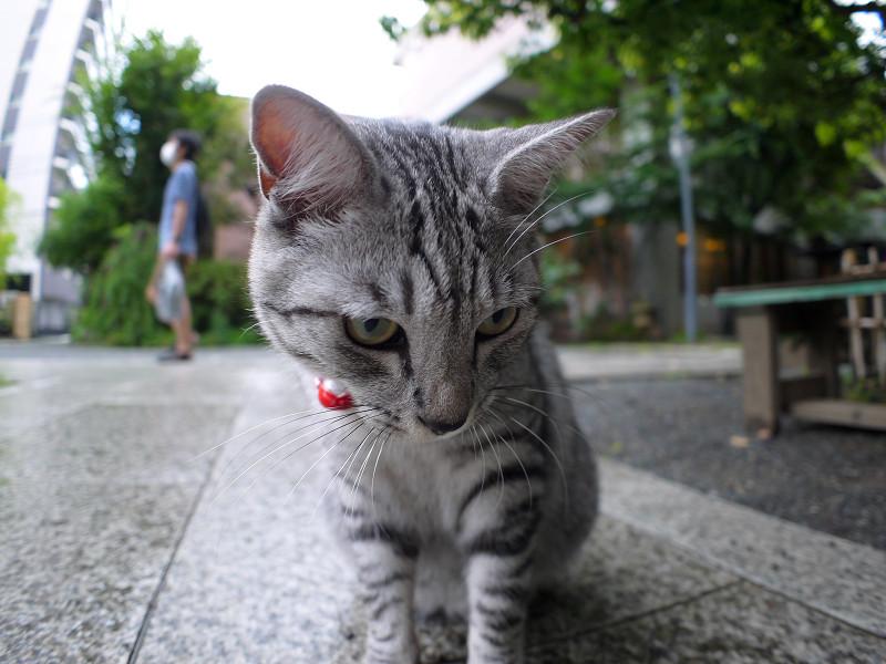 大きくなったサバトラ猫3