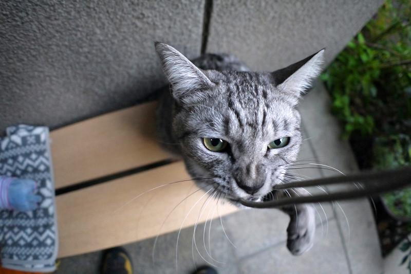 夢中で遊ぶサバトラ猫3