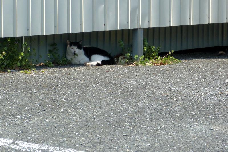 壁の隙間の白黒猫1