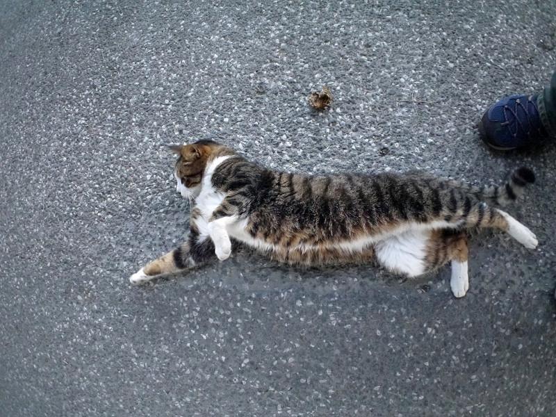 地面で動くキジ白猫1