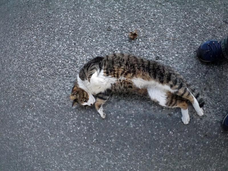 地面で動くキジ白猫3