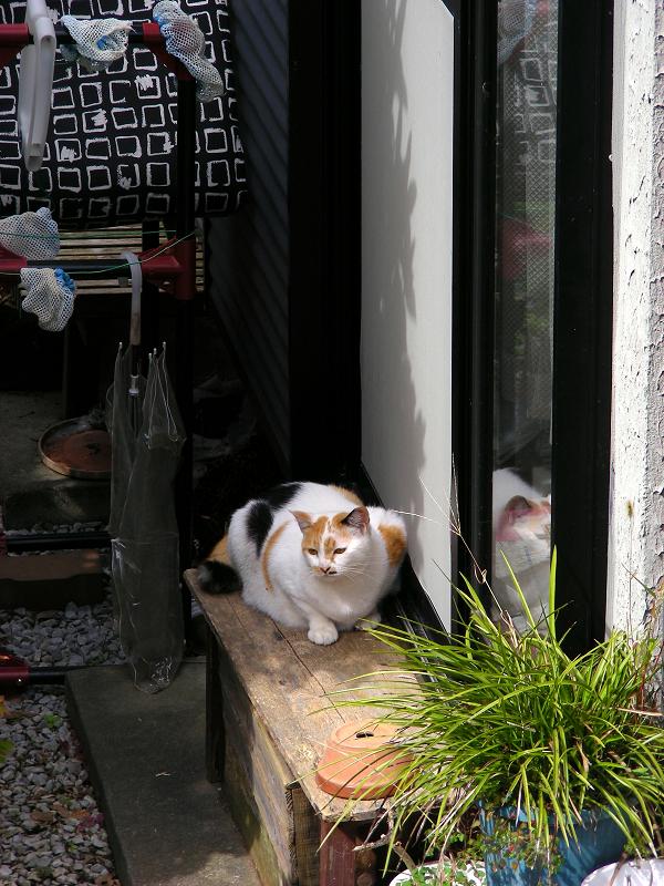 家の横の三毛猫1