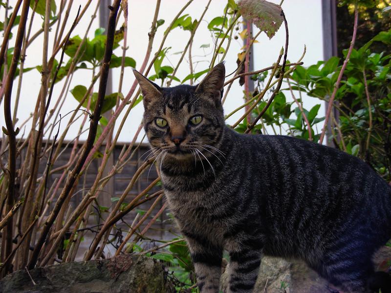 丸顔のキジトラ猫1