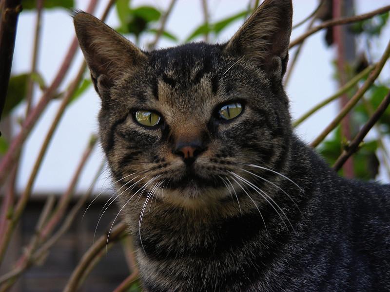 丸顔のキジトラ猫2