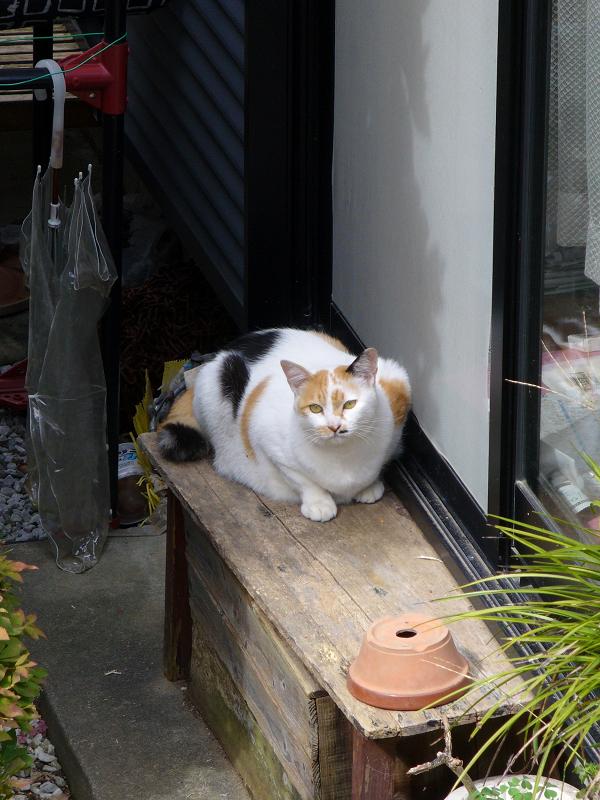 家の横の三毛猫2