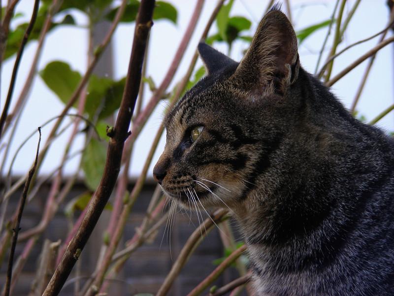 丸顔のキジトラ猫3