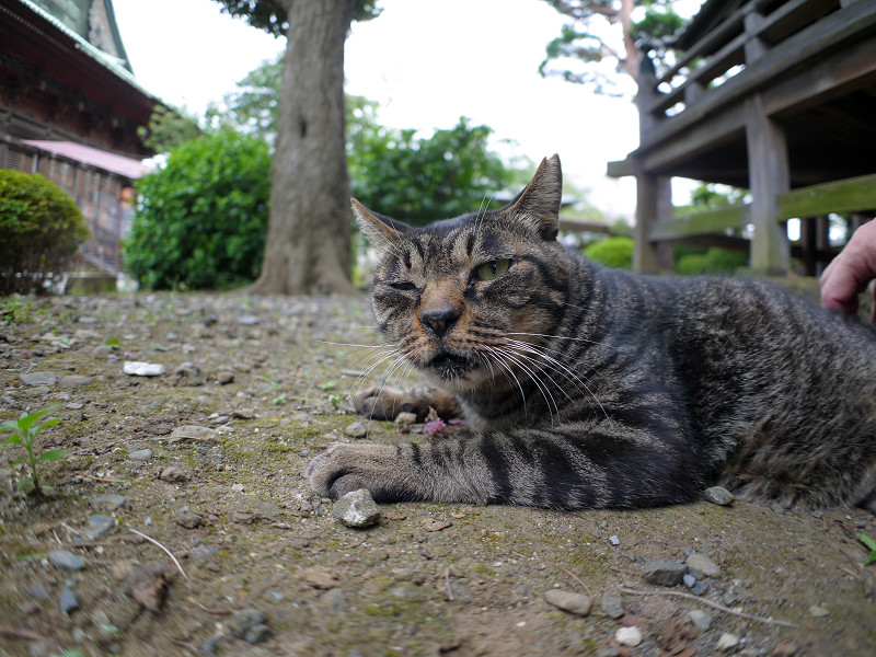 腰を擦られるキジトラ猫1