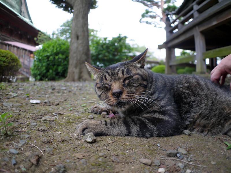 腰を擦られるキジトラ猫2