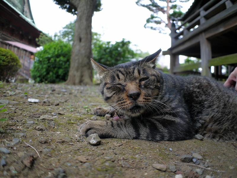 腰を擦られるキジトラ猫3
