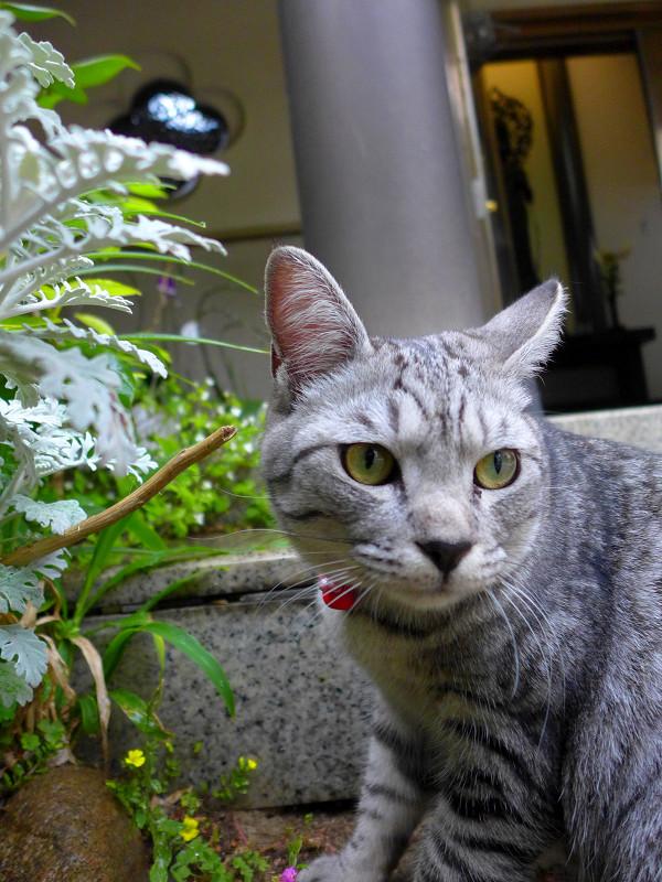 境内をうろつくサバトラ猫1