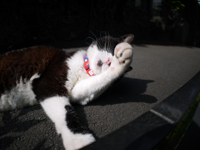 毛繕い中のキジ白猫3