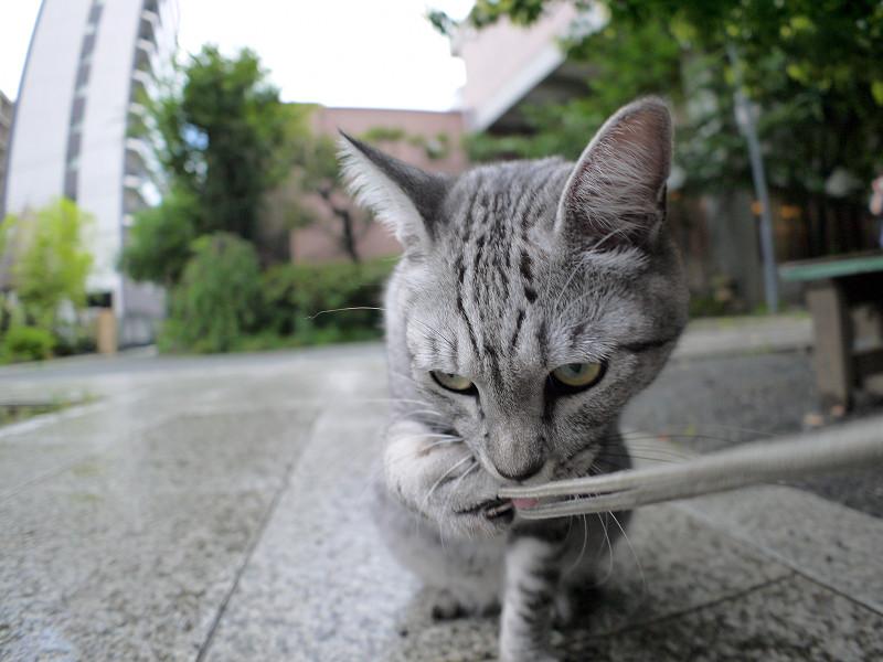 ストラップを噛んでいるサバトラ猫1