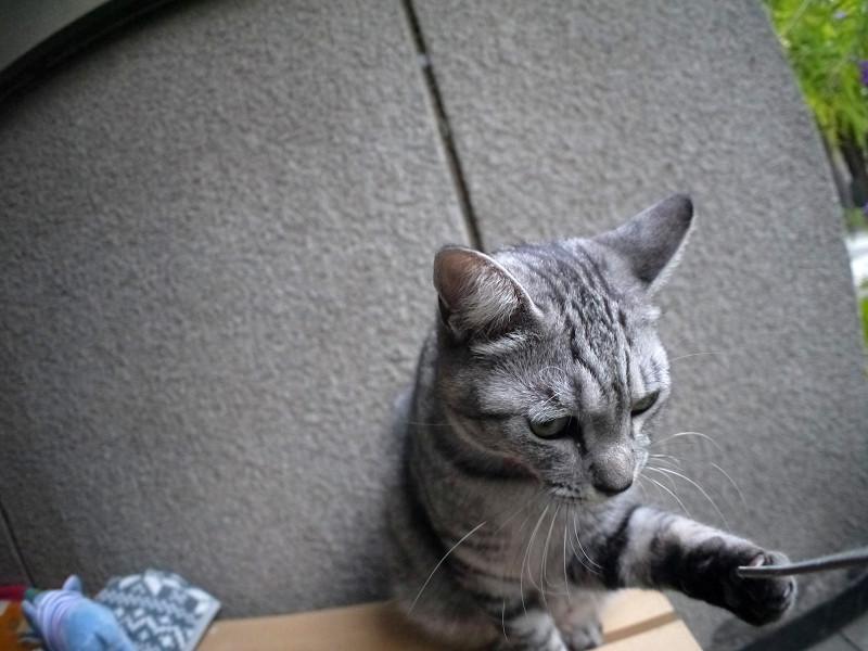 立ち上がったサバトラ猫1