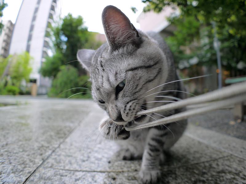 ストラップを噛んでいるサバトラ猫2