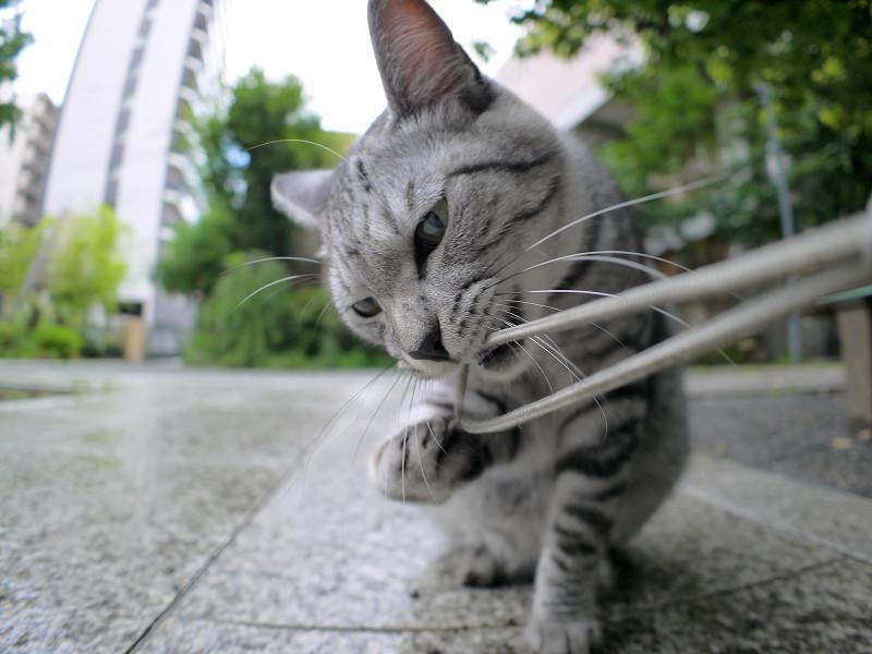 ストラップを噛んでいるサバトラ猫3