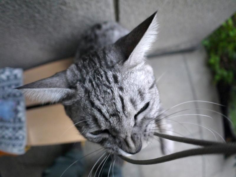 立ち上がったサバトラ猫3