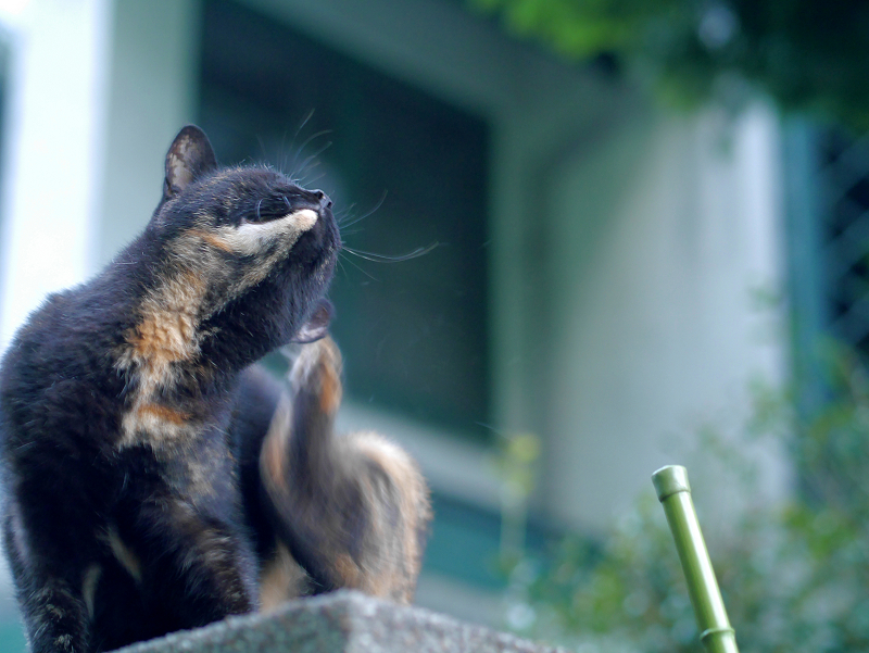 門柱から降りて来た黒サビ柄猫1