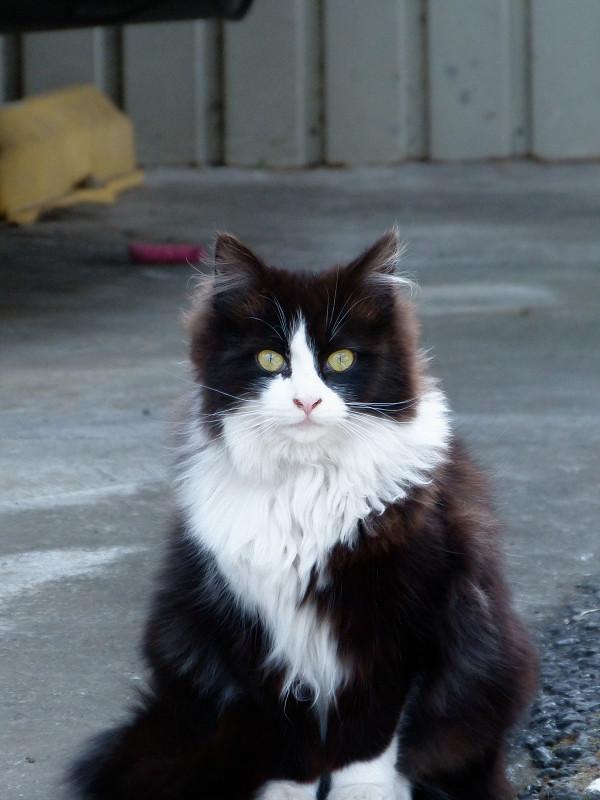 ふわふわ毛長の黒白猫1